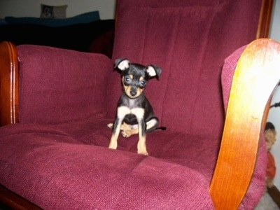Princess the Chipin is sitting in a big maroon chair and looking towards the camera holder