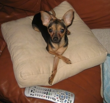 Shyla the Chipin is laying on a tan pillow on a brown leather couch behind a tv remote