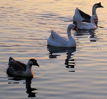Chinese Swan Geese - Picture taken at Santa Rosa Sound at Fort Walton Beach, Florida