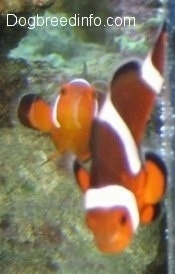 Two orange, white and black striped Clownfish are swimming up over top of a rock