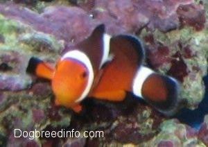 Close Up - An orange, white and black striped Clownfish is swimming over top of a rock