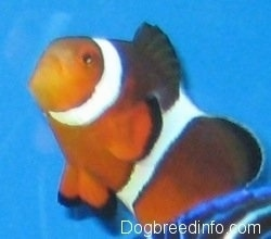 Close Up - an orange, white and black striped Clownfish