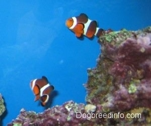 Two orange, white and black striped Clownfish are swimming out from behind a pink and green coral