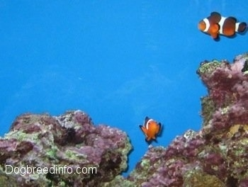 Two orange, white and black striped Clownfish are swimming around pink and green coral