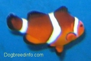 Close Up - orange, white and black striped Clownfish