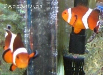 Two orange, white and black striped Clownfish are swimming around a filter