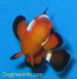 Close Up front view - A orange, white and black striped Clownfish is in mid turn