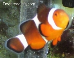 Close Up - A orange, white and black striped Clownfish is swimming in front of a filter in a fish tank