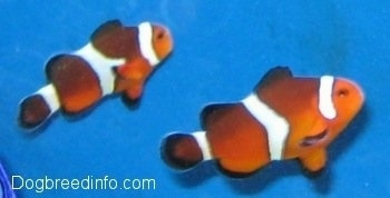 Two orange, white and black striped Clownfish are swimming to the left in a fish tank with a blue background