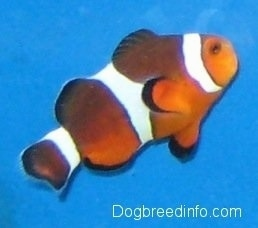 An orange, white and black striped Clownfish is swimming up and to the right
