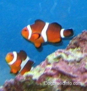 One orange, white and black striped Clownfish is swimming in front of a large rock and One Clownfish is coming up from behind the rock