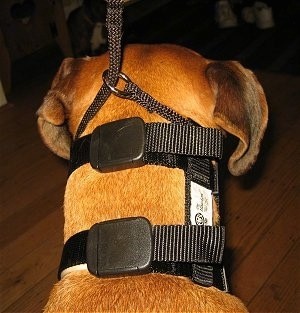 Close up - The back of a brown Boxer that is wearing an Illusion Collar