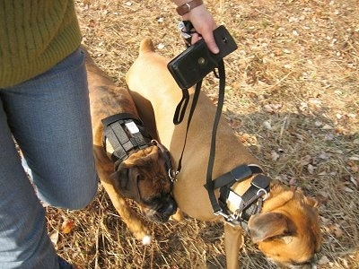 Allie the Boxer and Bruno the Boxer wearing the Illusion collar on a walk in grass