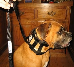Right Profile - Boxer wearing the Illusion Collar