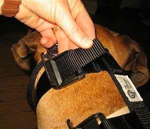 Strapping on the Illusion Dog Training Collar