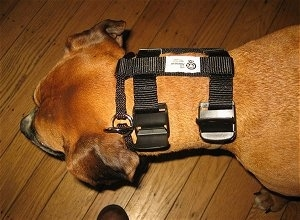 Topdown view of a brown Boxer that is wearing an Illusion Dog Training Collar.