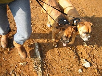 Top down view of a brown Boxer and a brindle brown with white Boxer that are wearing the Illusion Collar and are being led on a walk across a dirt surface.