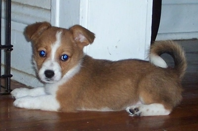 Jody the Corillon puppy is laying on a hardwood floor in front of a white wall doorway and looking at the camera holder