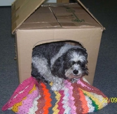Bandit the Daisy Dog is laying in a cardboard box turned into a dog house. There is a rainbow colored crocheted blanket inside