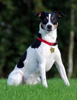 Sigurd the tricolor white, black and tan Danish-Swedish Farm dog is sitting in a field of grass