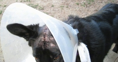 Close Up - Shiloh Shepherd with stitches on its head wearing a dog cone outside