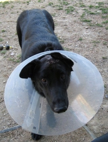 Close Up - Shiloh Shepherd with stitches on its head wearing a dog cone while standing on dirt looking into the camera