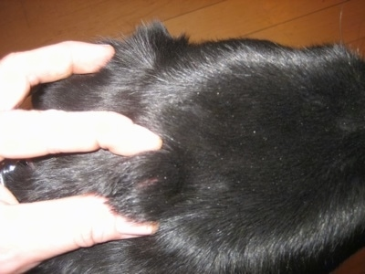 Squishy Lump On Cat S Neck : Dermoid Cysts - Tick bite, or Tumor?
