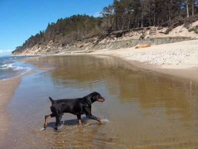 Dobis the black and tan Doberman Pinscher is running through a body of water towards the shore