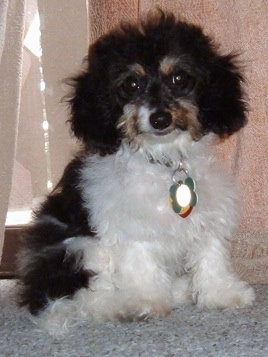 Bear the black, white with tan Doxiepoo is sitting in front of a window with a big dog tag hanging from its collar