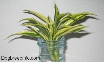 A Dracaena Variegatus plant is in a plastic bottle out of the water