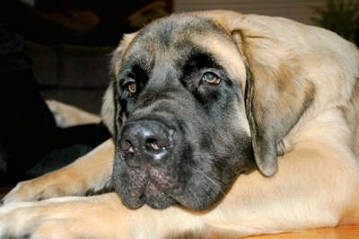 Zak, the English Mastiff at 8 months old, weighing 149 pounds