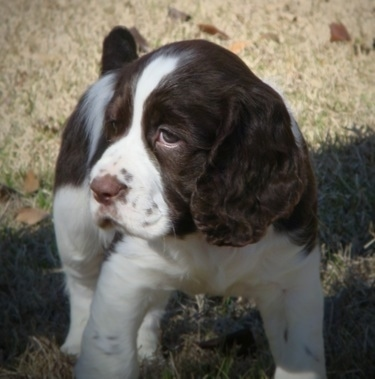 Winston the brown and white English Springer Spaniel puppy is standing in a field and looking to the right