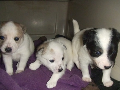 Fancy, Buttercup and Spot the Eskijack puppies are standing in a row in a dog carrying crate and they are on top of a purple towel. The first puppy is white with tan on the head, the second is white with less tan on the head and the third puppy is white with black around each eye.
