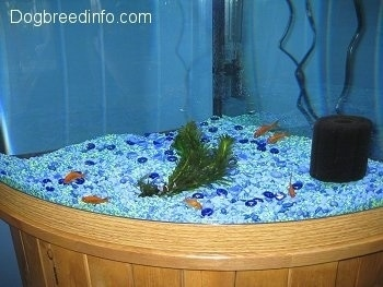 There are six goldfish swimming at the bottom of the blue graveled aquarium
