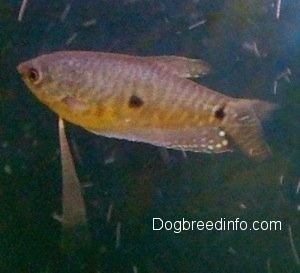 Close Up - A brown with black and white Blue Gourami is swimming to the left