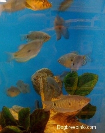 Blue and Golden Gouramis are swimming in a circle over top of an underwater log with leaves on it