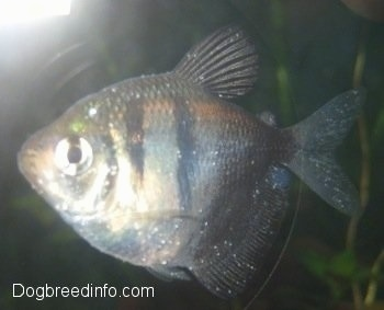 About ich in fish and how to treat it for How to treat ich in fish