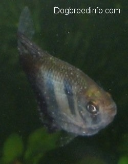 Close Up - Black Tetra with white spots on it is swimming up towards the top of an aquarium
