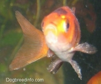 Close Up - A Goldfish with white spots all over it