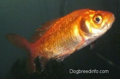 Close Up - A Goldfish with white spots all over it is swimming to the right