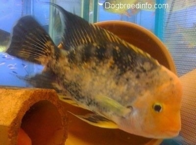 Close Up - A large orange and black midas cichlid is swimming next to an orange pipe and a clay pot planter inside of a fish tank.