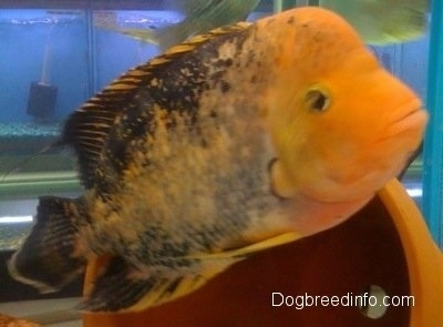 Close Up - A large orange and black midas cichlid fish is swimming in front of a pot inside of a large fish tank.