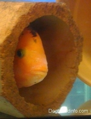 A large orange and black midas cichlid fish is peeking out of a pipr enclosure