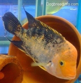 A large orange and black midas cichlid fish is swimming in front of a pot and there is another midas cichlis in a pipe enclosure
