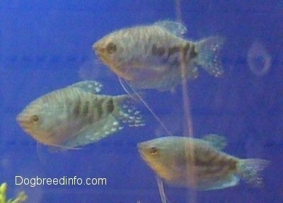 Three Opaline Gouramis are swimming to the left