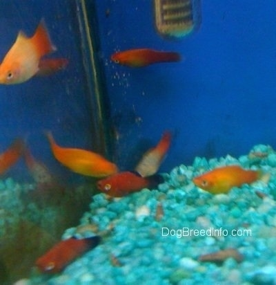 A orange, orange and white and red and black school of fish swimming at the back corner of an aquarium