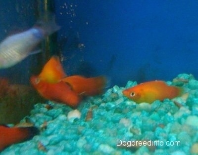 Five Orange fish are swimming to the left of a fish tank that has teal green gravel and there is a blue fish above them.