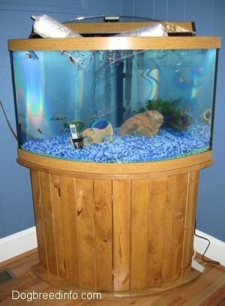 Two bags of goldfish are floating at the top of a fish tank. There are six goldfish in the tank