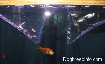 Goldfish and feeder fish are swimming in a tank