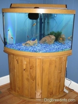 A wooden aquarium with blue gravel is filled with fish, rocks and plants